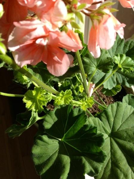 Geraniums indoor for winter